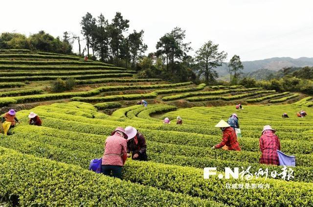 连江长龙2万余亩春茶开采